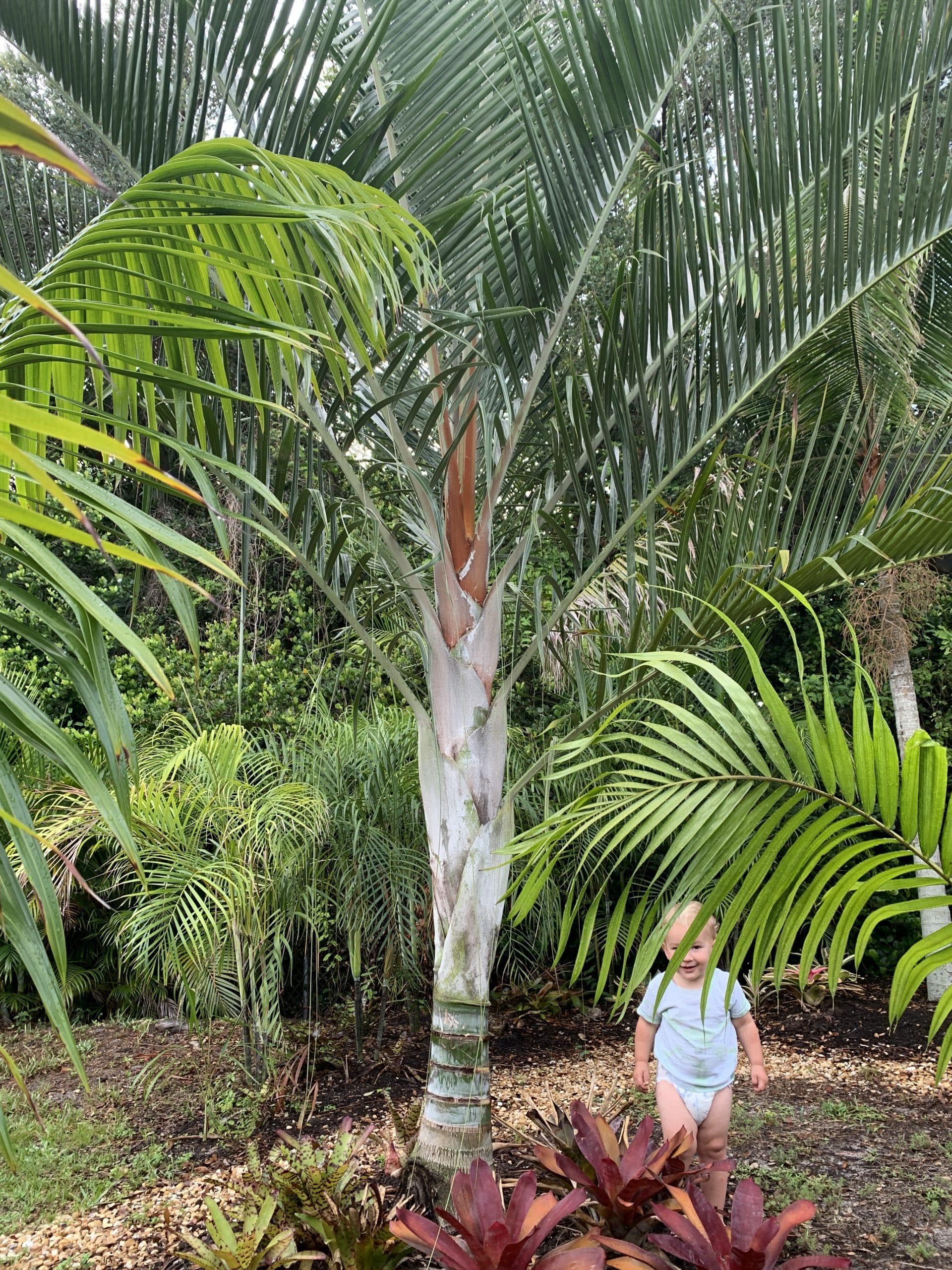 , Dypsis pembana x Dypsis decaryi (aka TriBana Palm)